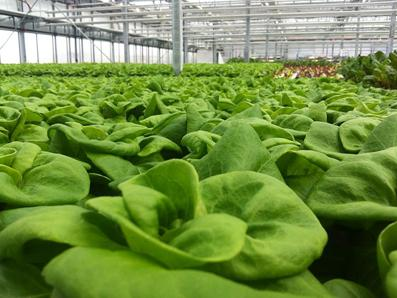 Lufa_Farms_Boston_Lettuce_by_Lufa_Farms